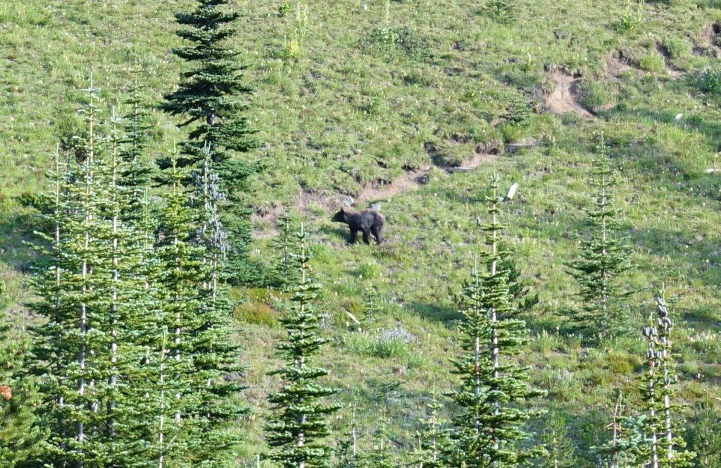 American black bear near trail